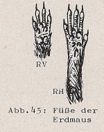 DJN Heimische Säugetiere Peter Boye 1994 Abb.45 Füße der Erdmaus.PNG