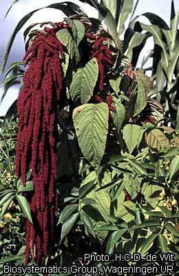 Fichier:Amaranthus caudatus 37.424.jpg