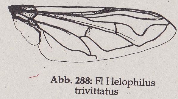 DJN-Schwebfliegen Bothe 1994 Abb.288 Helophilus trivittatus Fl.png