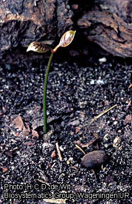 Gnetum africanum (PROTA) - PlantUse English