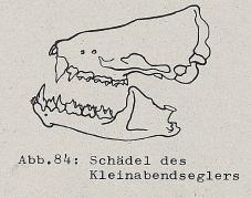 Schädel des Kleinabendseglers - DJN (1994) - Peter Boye - Heimische Säugetiere