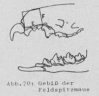 DJN Heimische Säugetiere Peter Boye 1994 Abb.70 Gebiss der Feldspitzmaus.PNG