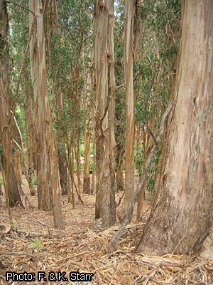 Eucalyptus Globulus Prota Plantuse English