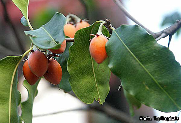 Fichier:Mimusops elengi Toptropicals fruiting branch.jpg