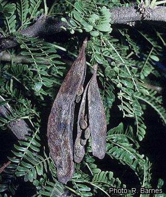 Fichier:Acacia robusta R. Barnes Hawthorne fruiting branch.jpg