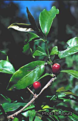 File:Coffea eugenioides 3.JPG