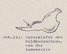 DJN Heimische Säugetiere Peter Boye 1994 Abb.111 Unterkiefer des Wildkaninchen, von der Außenseite.PNG