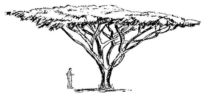 Fichier:Acacia abyssinica drawing habit Bekele-Tessemma Ethiopia.jpg