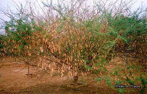 Acacia Senegal Prota Plantuse English