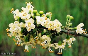 Ceiba pentandra (PROTA) - PlantUse English