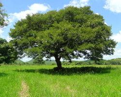 alt=Description de l'image Copaifera officinalis tree barloventomagico.jpg.
