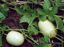 alt=Description de l'image Cucumeropsis mannii RRS.jpg.