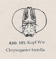 Fühler: 3. Glied klein, Borste an seiner Basis (Ww Chrysogaster hirtella)
