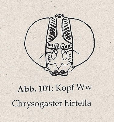DJN-Schwebfliegen Bothe 1994 Abb.101 Ww C.hirtella Kopf.png