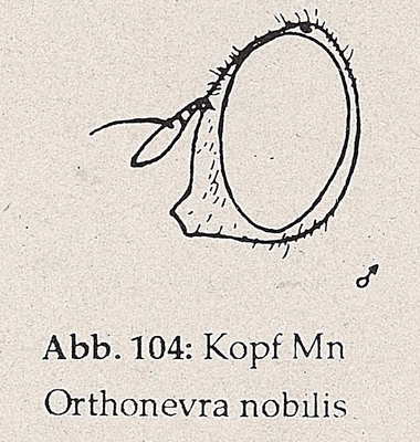DJN-Schwebfliegen Bothe 1994 Abb.104 Mn Orthonevra nobilis.png