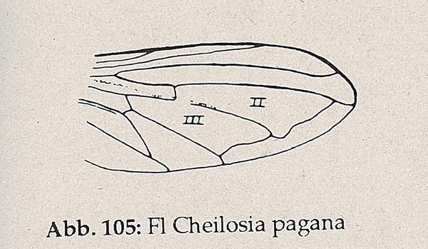 DJN-Schwebfliegen Bothe 1994 Abb.105 Cheilosia pagana Flügel.png