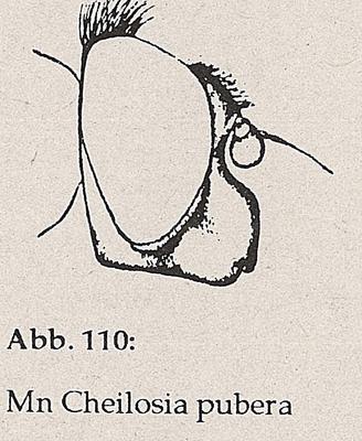 DJN-Schwebfliegen Bothe 1994 Abb.110 Mn C.pubera Kopf.png