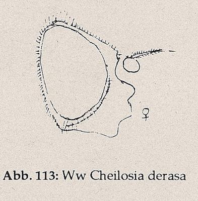 DJN-Schwebfliegen Bothe 1994 Abb.112 Mn Cheilosia derasa Kopf.png
