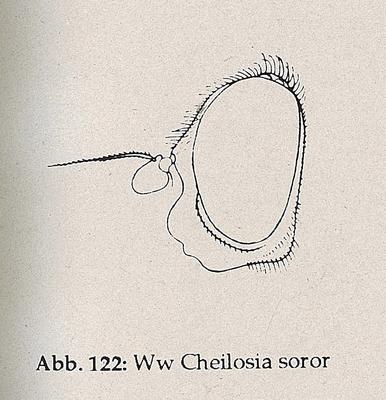 DJN-Schwebfliegen Bothe 1994 Abb.122 Ww Cheilosia soror Kopf.png