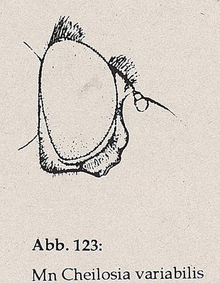 DJN-Schwebfliegen Bothe 1994 Abb.123 Mn Cheilosia variabilis Kopf.png
