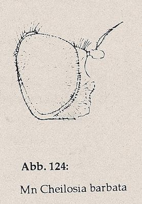 DJN-Schwebfliegen Bothe 1994 Abb.124 Mn Cheilosia barbata Kopf.png