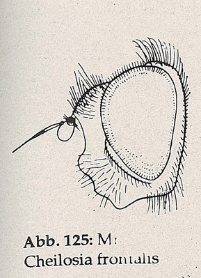 DJN-Schwebfliegen Bothe 1994 Abb.125 Mn Cheilosia frontalis Kopf.png