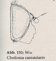 Gesicht nackt (Ww Cheilosia canicularis)