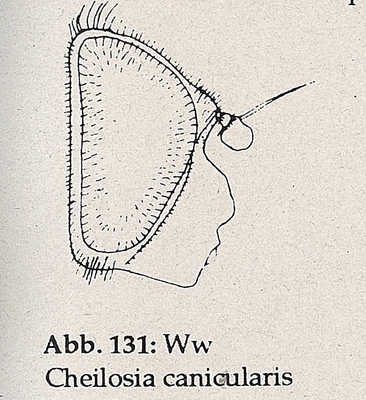 DJN-Schwebfliegen Bothe 1994 Abb.131 Ww C.canicularis Kopf.png