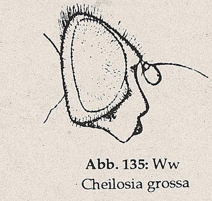 DJN-Schwebfliegen Bothe 1994 Abb.135 Ww Cheilosia grossa Kopf.png