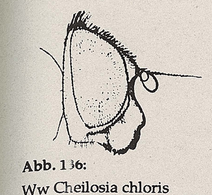 DJN-Schwebfliegen Bothe 1994 Abb.136 Ww Cheilosia chloris Kopf.png