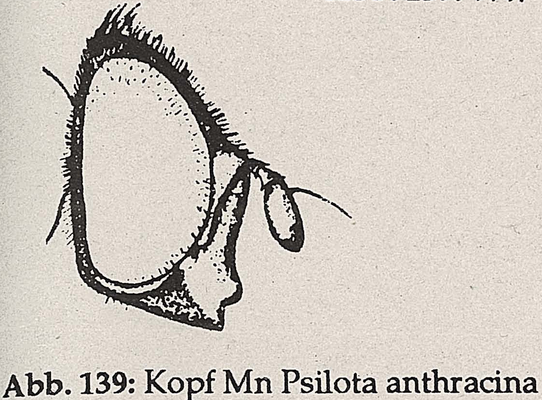 DJN-Schwebfliegen Bothe 1994 Abb.139 Mn Psilota anthracina Kopf.png