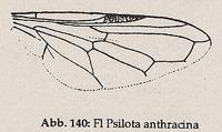 Flügel-Randader c und d nicht parallel zum Flügelrand, bilden Zickzacklinie (Psilota anthracina)