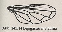 Flügel-Randader c und d nicht parallel zum Flügelrand, bilden Zickzacklinie (Lejogaster metallina)