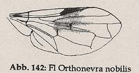 Flügel-Randader c und d nicht parallel zum Flügelrand, bilden Zickzacklinie (Orthonevra nobilis)