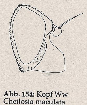 DJN-Schwebfliegen Bothe 1994 Abb.154 Ww Cheilosia maculata Kopf.png