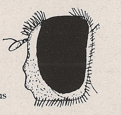 DJN-Schwebfliegen Bothe 1994 Abb.158 Platycheirus ambiguus Kopf.png