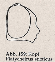 Gesicht ohne Wangen (Platycheirus sticticus)