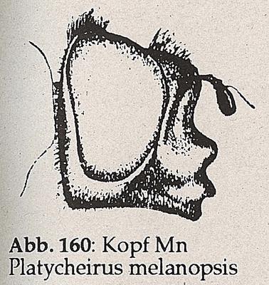 DJN-Schwebfliegen Bothe 1994 Abb.160 Mn P.melanopsis Kopf.png