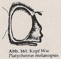 Mundrand steht so weit vor wie der Mundhöcker (Ww Platycheirus melanopsis)