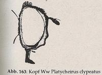 Gesicht nicht stark vorgezogen (Ww Platycheirus clypeatus)