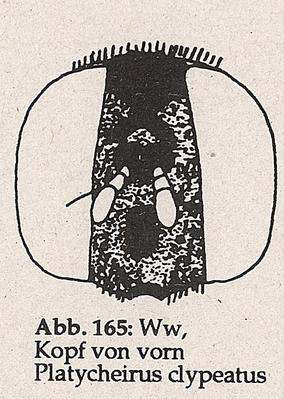 DJN-Schwebfliegen Bothe 1994 Abb.165 Ww P.clypeatus Kopf von vorn.png