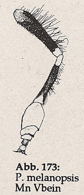 DJN-Schwebfliegen Bothe 1994 Abb.173 Mn P.melanopsis Vorderbein.png