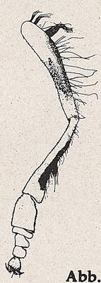 DJN-Schwebfliegen Bothe 1994 Abb.175 Mn P.scutatus Vbein.png