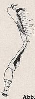 Vorderbein (Mn Platycheirus sculatus)