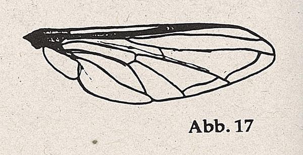 DJN-Schwebfliegen Bothe 1994 Abb.17 Zelle eins Flügel.png