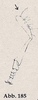 DJN-Schwebfliegen Bothe 1994 Abb.185 Mn P.immarginatus Vbein.png