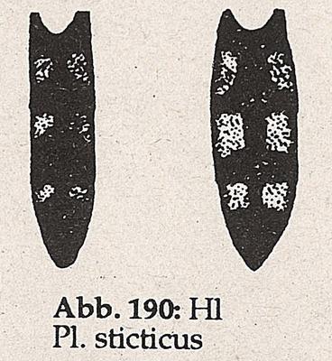 DJN-Schwebfliegen Bothe 1994 Abb.190 Mn Ww P.sticticus Hinterleib.png