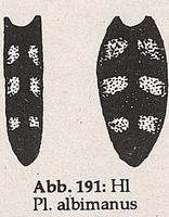 Hinterleib mit 2 Paar Flecken (Platycheirus albimanus)