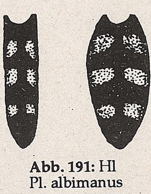 DJN-Schwebfliegen Bothe 1994 Abb.191 Mn Ww P.albimanus Hinterleib.png
