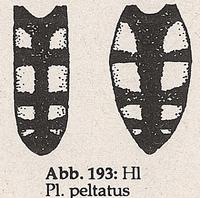 Hinterleib mit Fleckenzeichnung (Platycheirus peltatus)